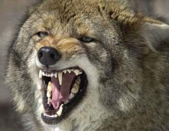 восточный койот