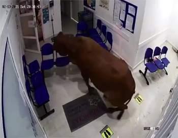 корова в больнице