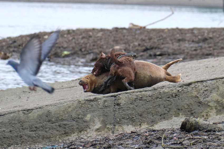 собака атакует детеныша тюленя