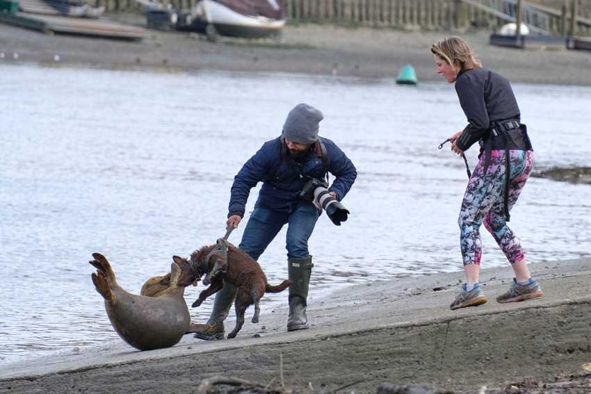 собака тащит тюленя