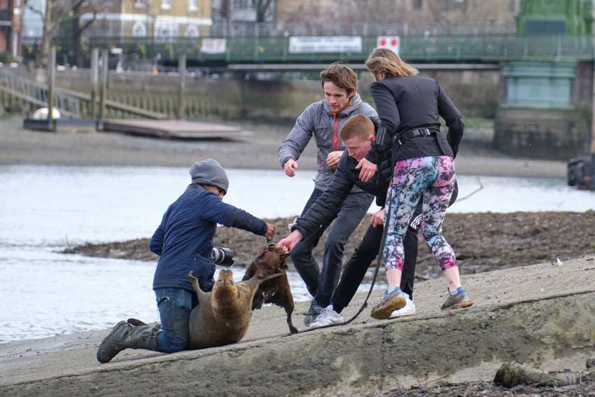 собака вцепилась в тюленя