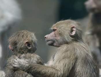 обезьяна гладит малыша