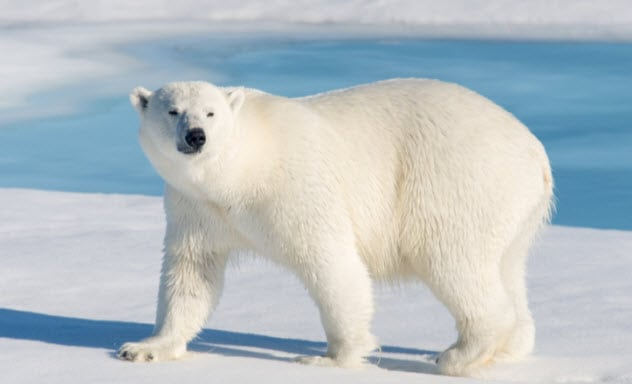 белый медведь на снегу