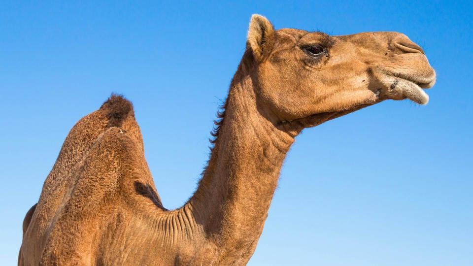 верблюд на фоне неба