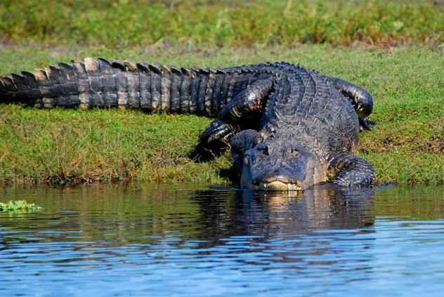 на берегу аллигатор