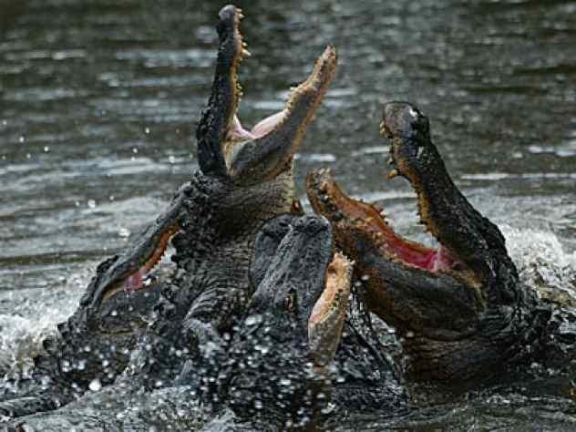 подпрыгивают аллигаторы