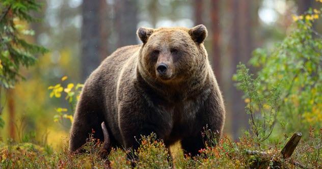 грозный медведь