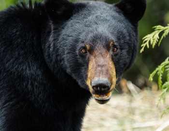 самка черного медведя