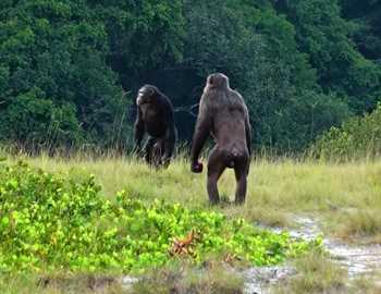 две шимпанзе