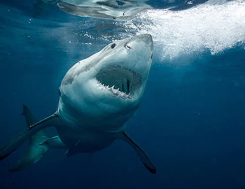 заблуждения об акулах