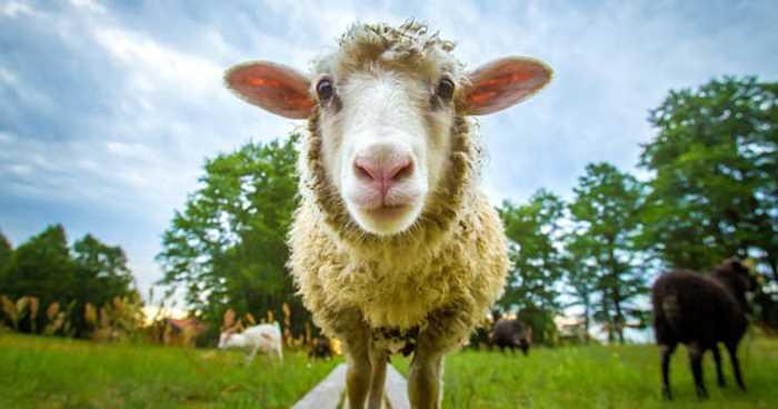 смотрит овца