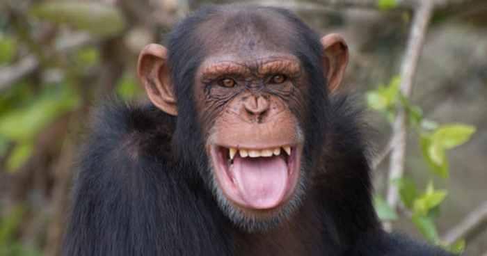 лечение у шимпанзе